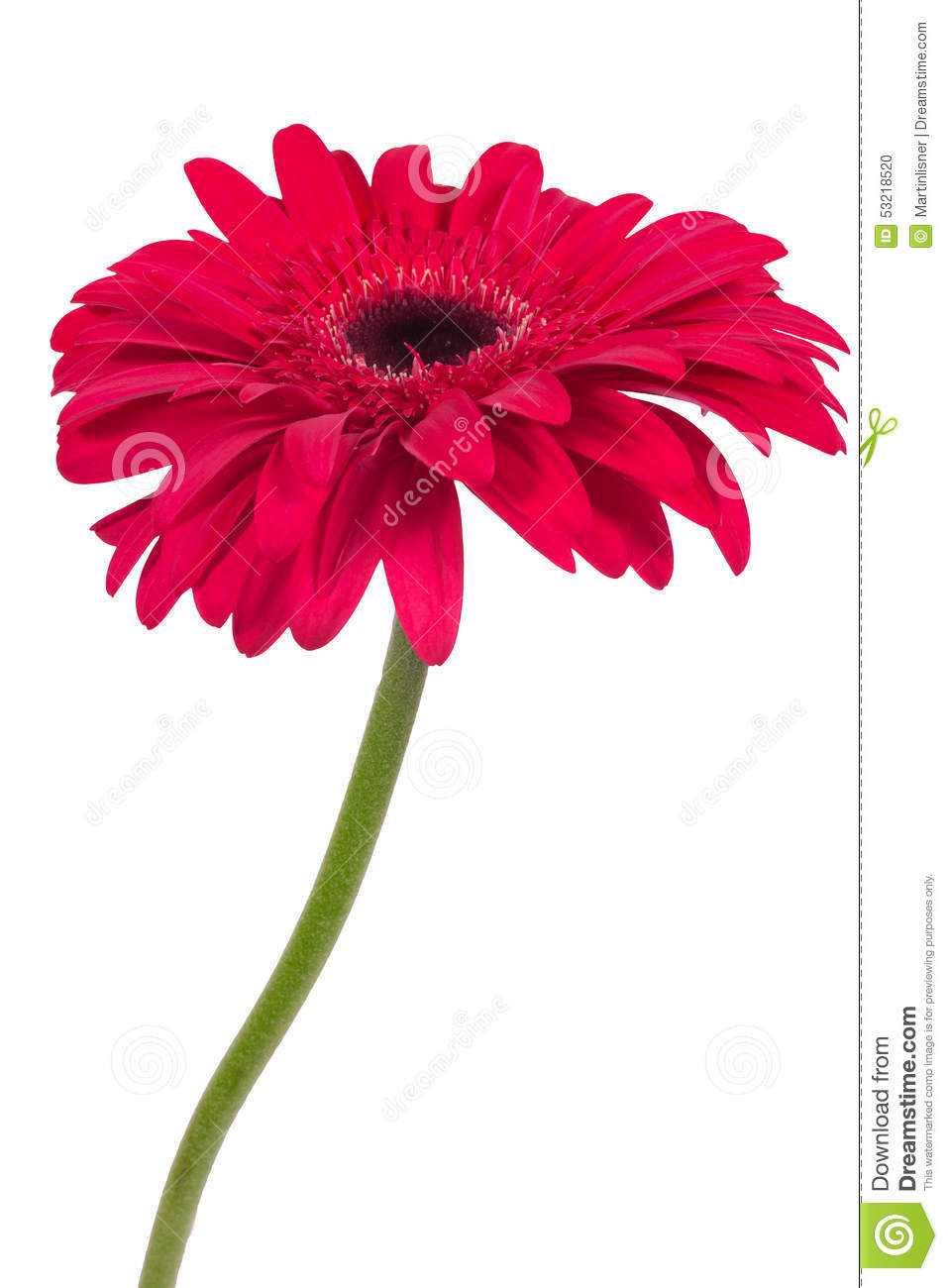 Beautiful pink gerbera flower isolated on white background