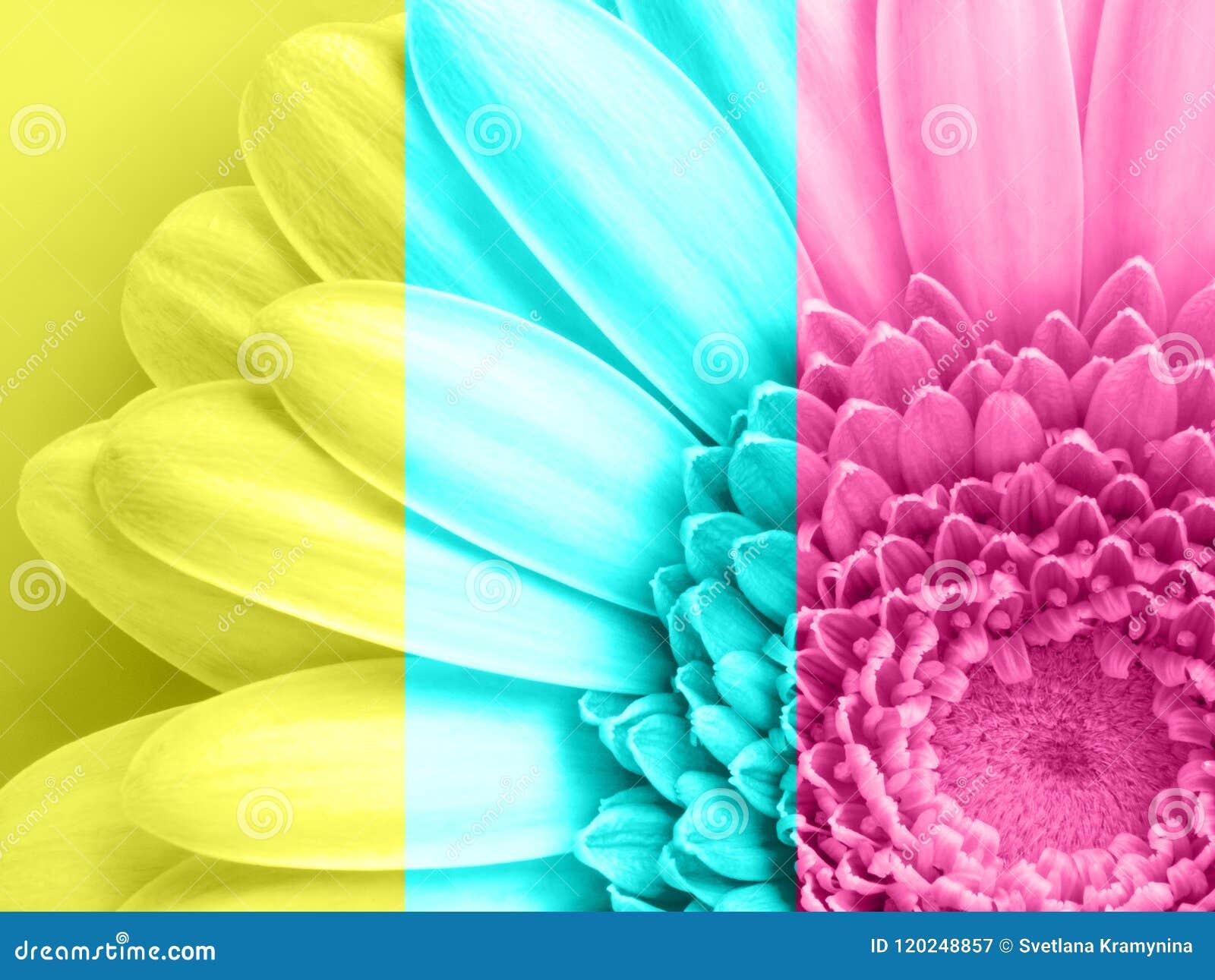Beautiful Pink Gerbera Flower In Macro Closeup Pastel Color