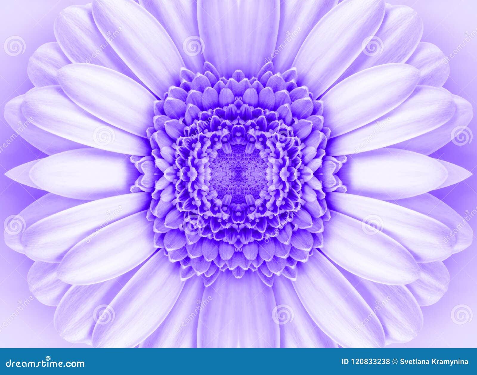 Beautiful Pink Gerbera Flower In Macro Closeup Pastel Color Wallpaper Background Desktop Jpg 1300x1039 Attractive