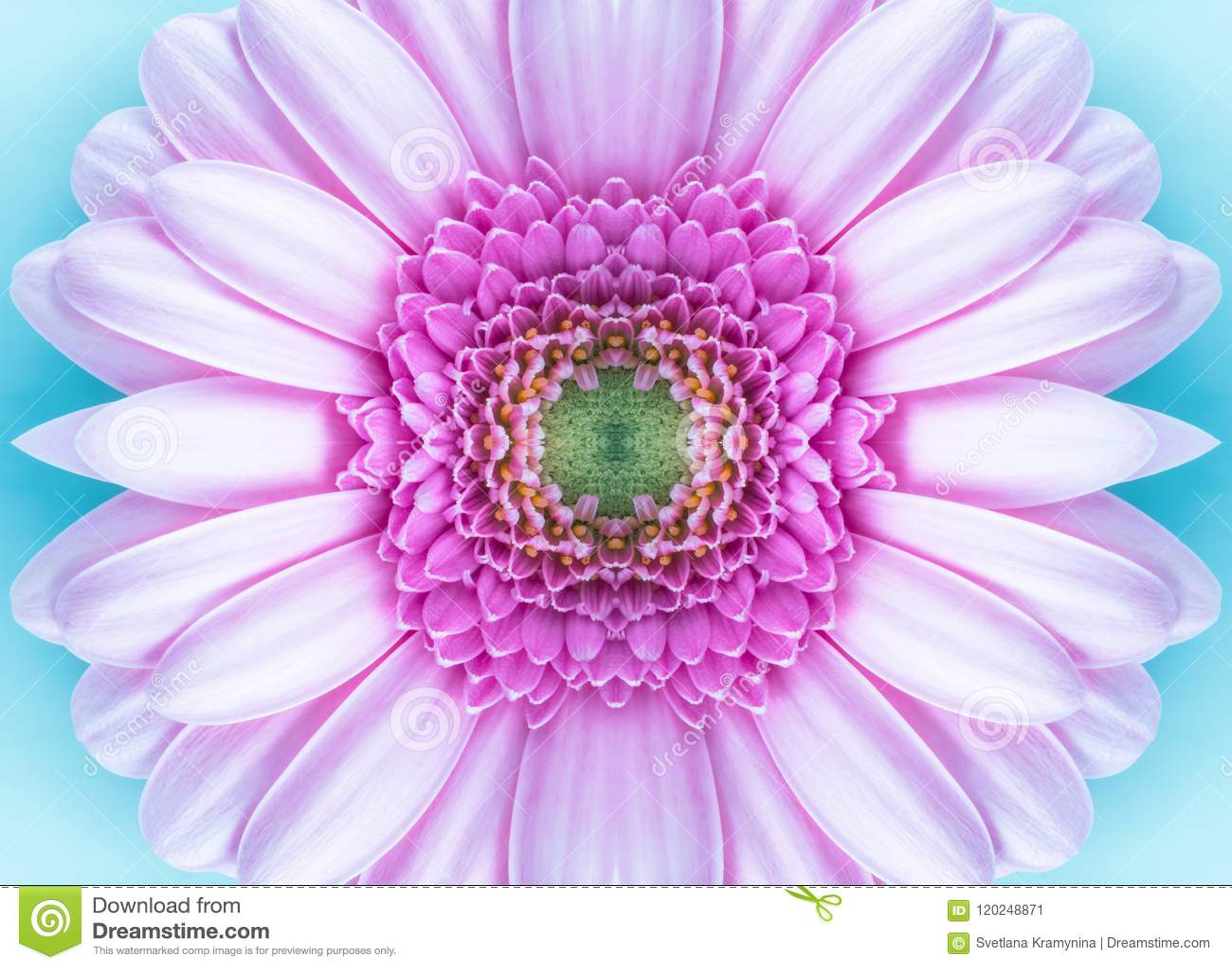 attractive wallpaper gerbera daisy flowery picturesque | www