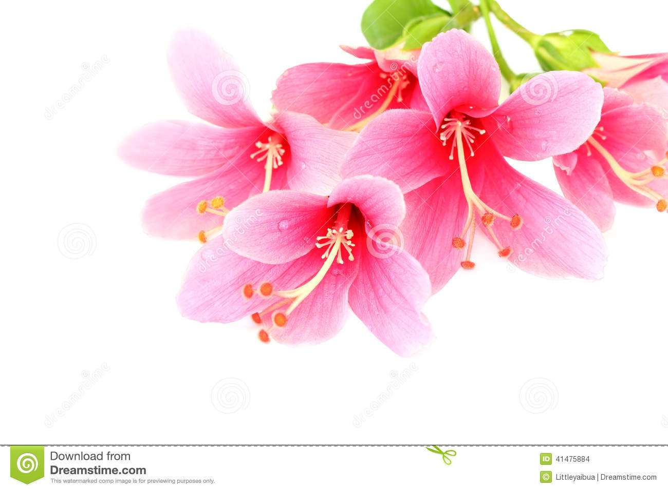 Beautiful pink hibiscus or chinese rose flower isolated on a whi stock