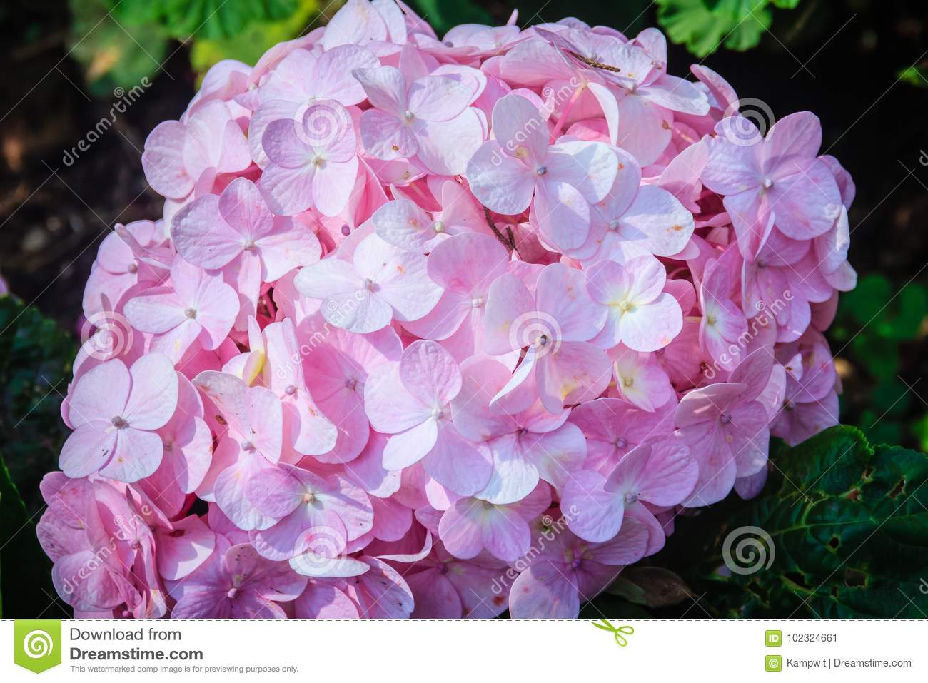 Beautiful pink hydrangea macrophylla flowers background common beautiful pink hydrangea macrophylla flowers background common mightylinksfo