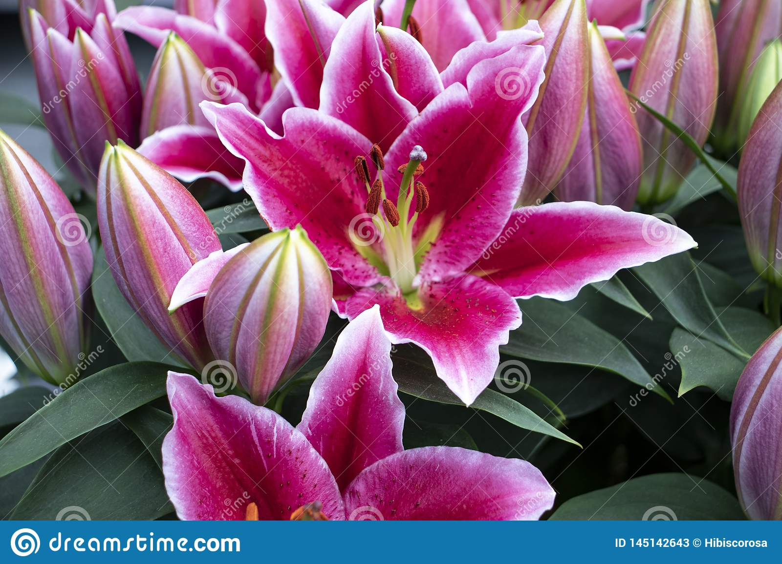 Beautiful pink lilies in the park