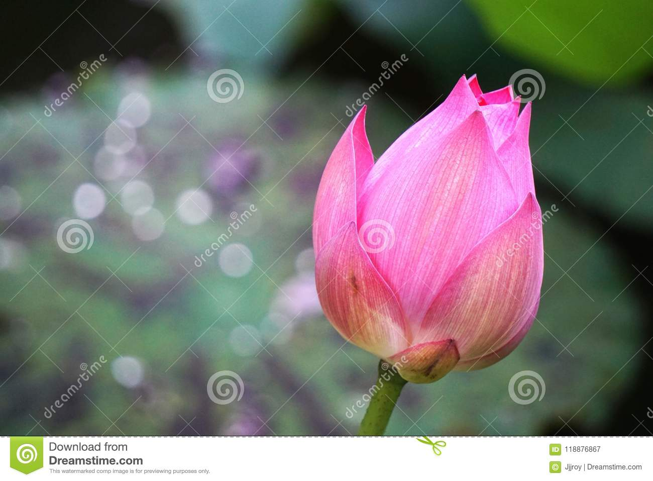 Beautiful Pink Lotus Flower Blossom With Blurred Green Bokeh