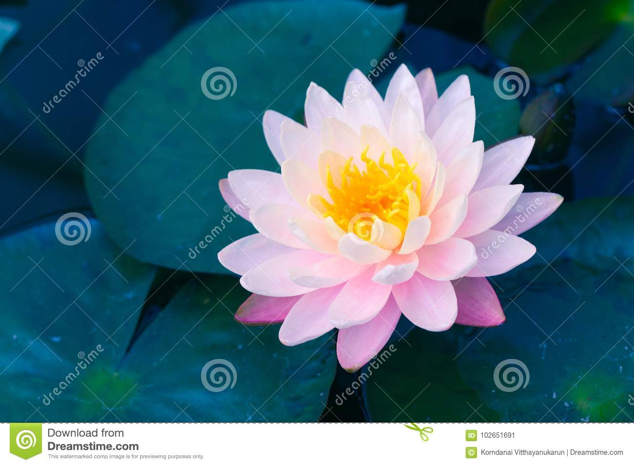 Beautiful Pink Lotus The Flower Of Buddha Stock Image Image Of