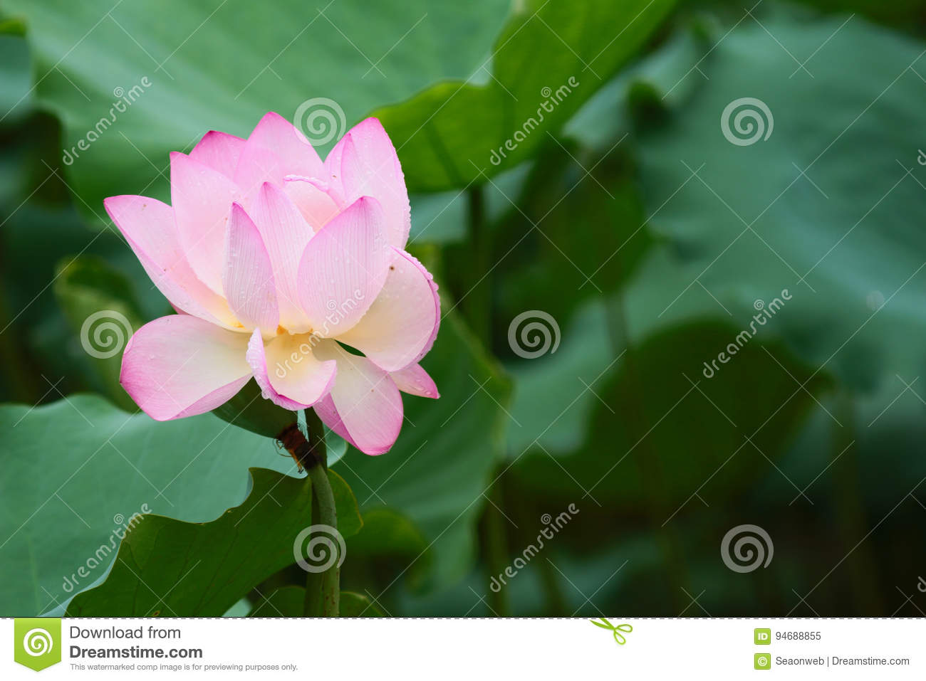 Beautiful pink lotus flowerand lotus flower bud stock image image download beautiful pink lotus flowerand lotus flower bud stock image image of floral izmirmasajfo