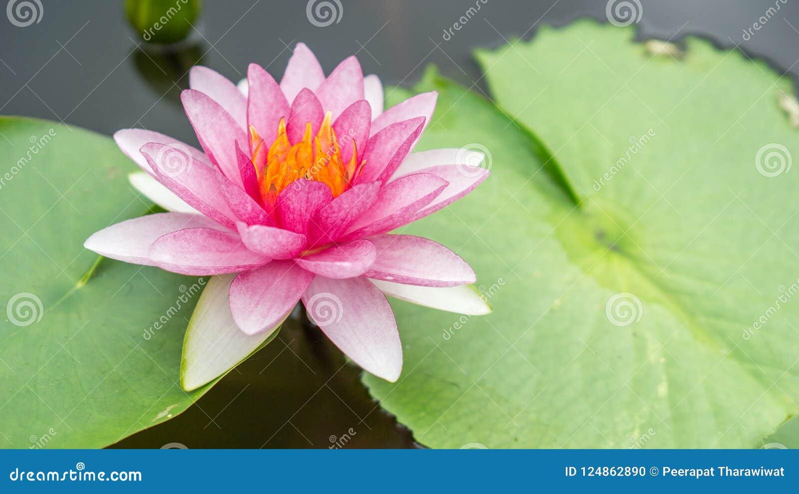 Beautiful pink lotus flower in water and copy space use for lot download beautiful pink lotus flower in water and copy space use for lot stock photo izmirmasajfo