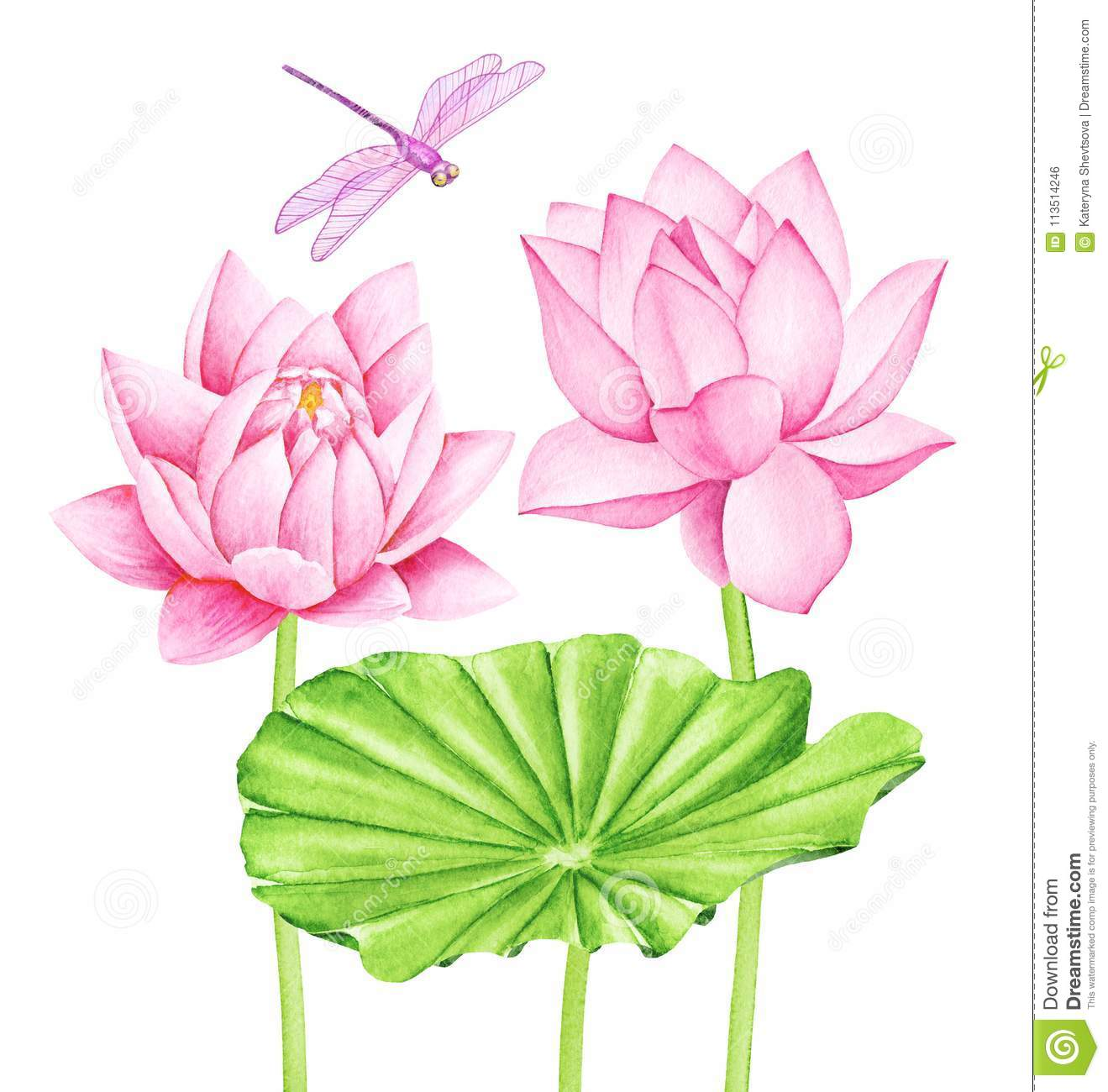 Beautiful Pink Lotus Flowers And Dragonfly Watercolor Illustration