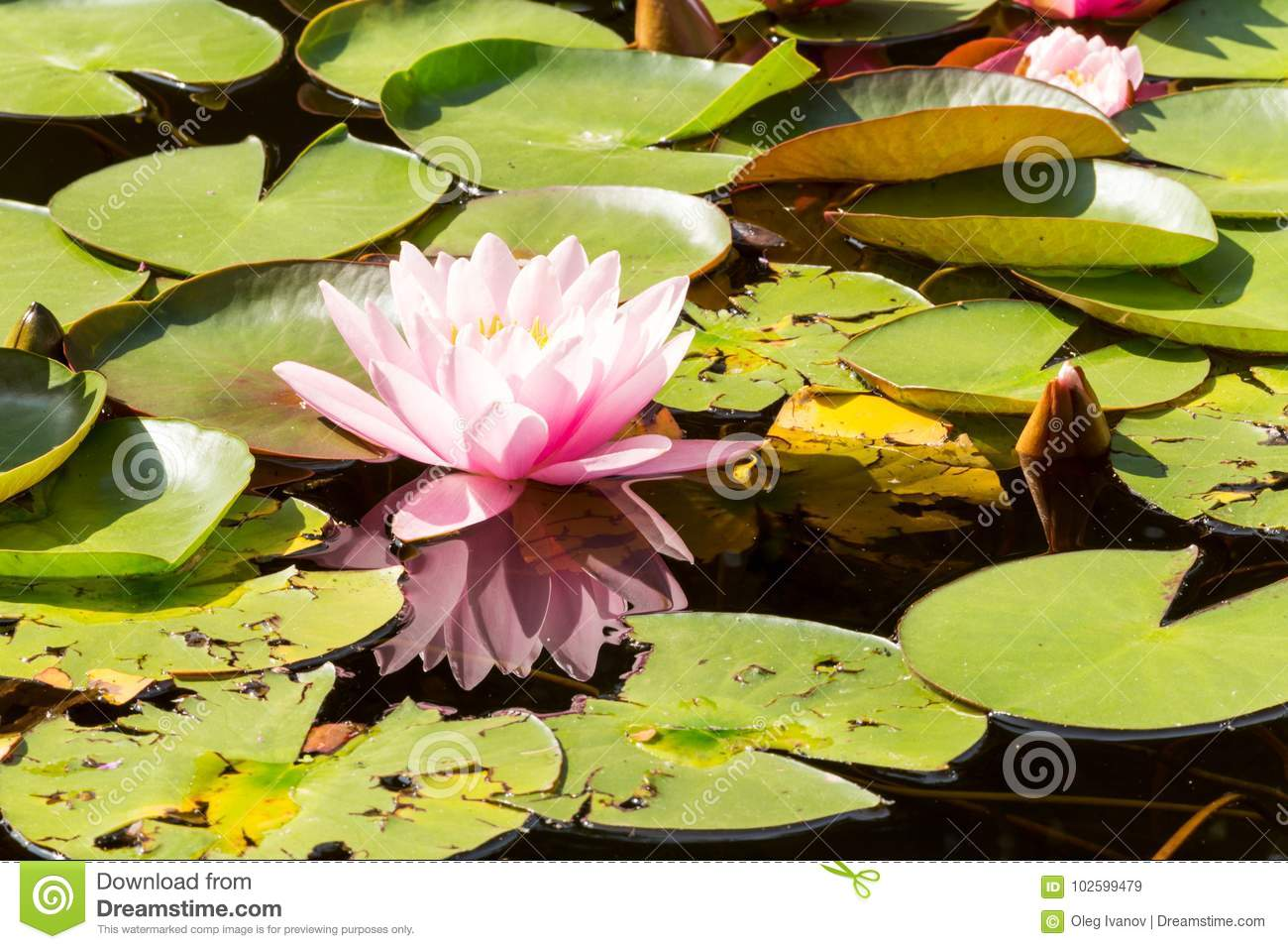 The Beautiful Pink Lotus Flowers Or Water Lilies In The Pond On
