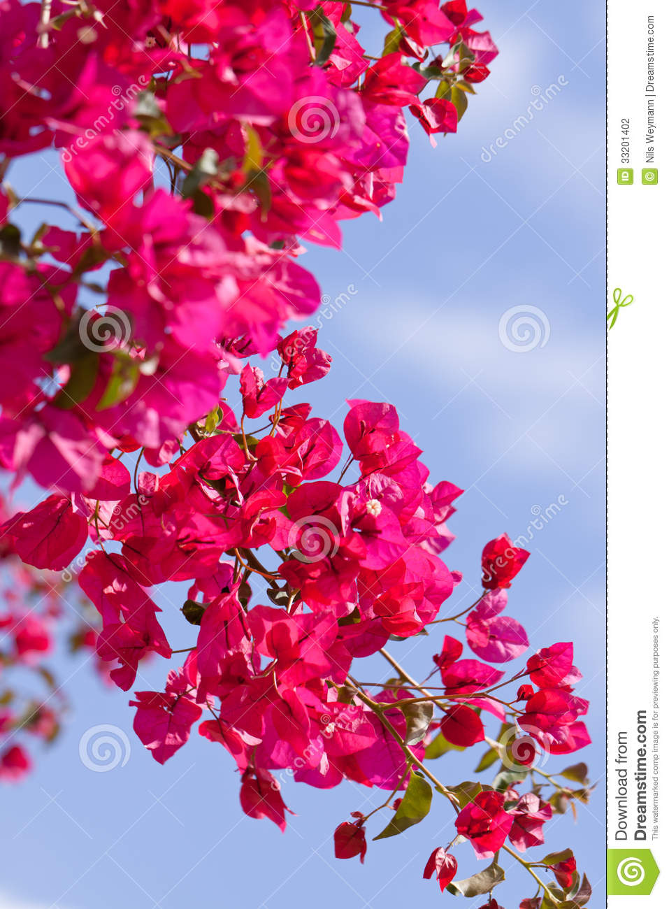 Beautiful pink flowers in the garden stock photography image - Beautiful Pink Magenta Bougainvillea Flowers And Blue Sky