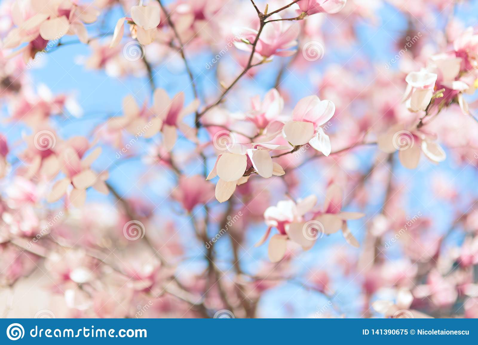 Beautiful Pink Magnolia Blossoming In Spring Stock Image Image Of