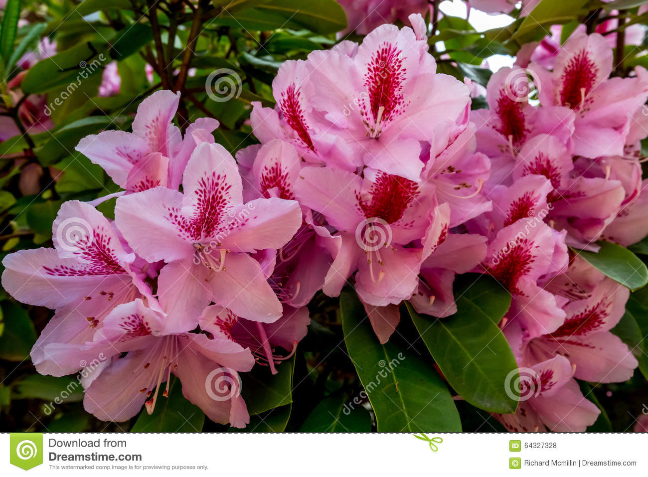 The Beautiful Pink Pacific Rhododendron
