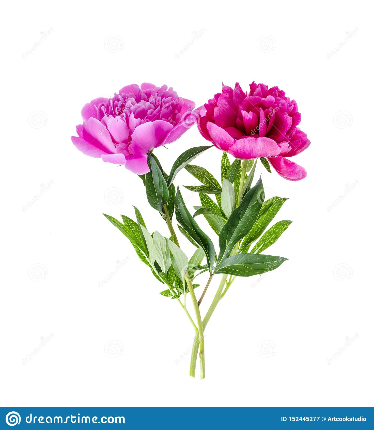 Beautiful pink peony flower isolated on white background.