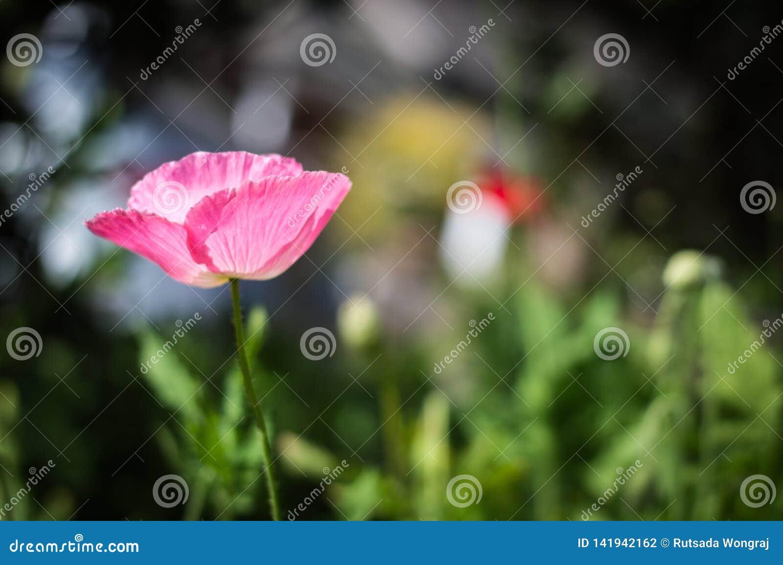 Beautiful pink poppies bloom in the graden