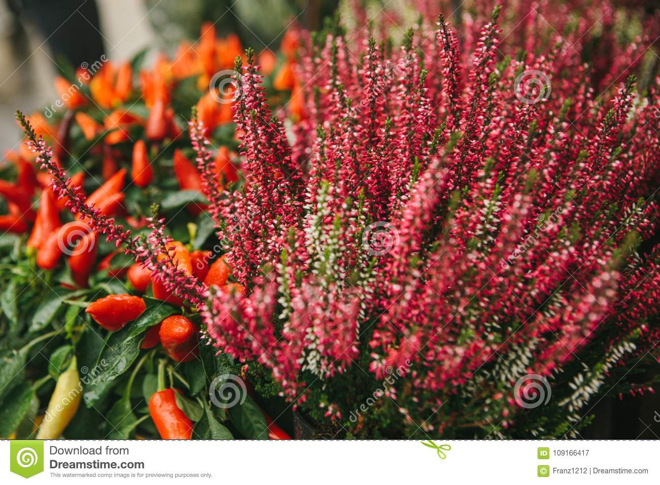 Beautiful pink and purple flowers knospenheide and calluna vulgaris and capsicum also called decorative peppers in