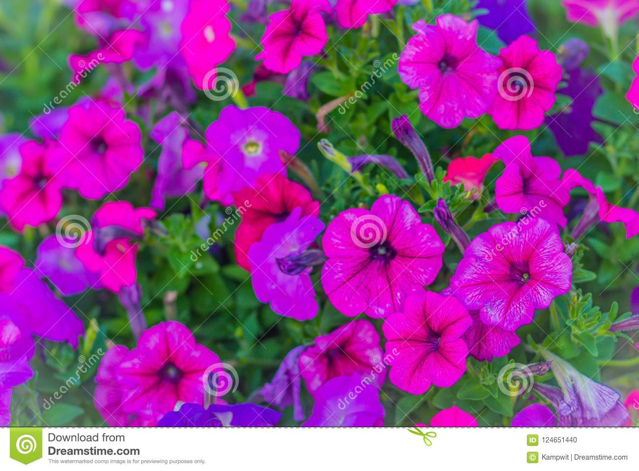 Ampel petunia is one of the popular types of garden flowers 13
