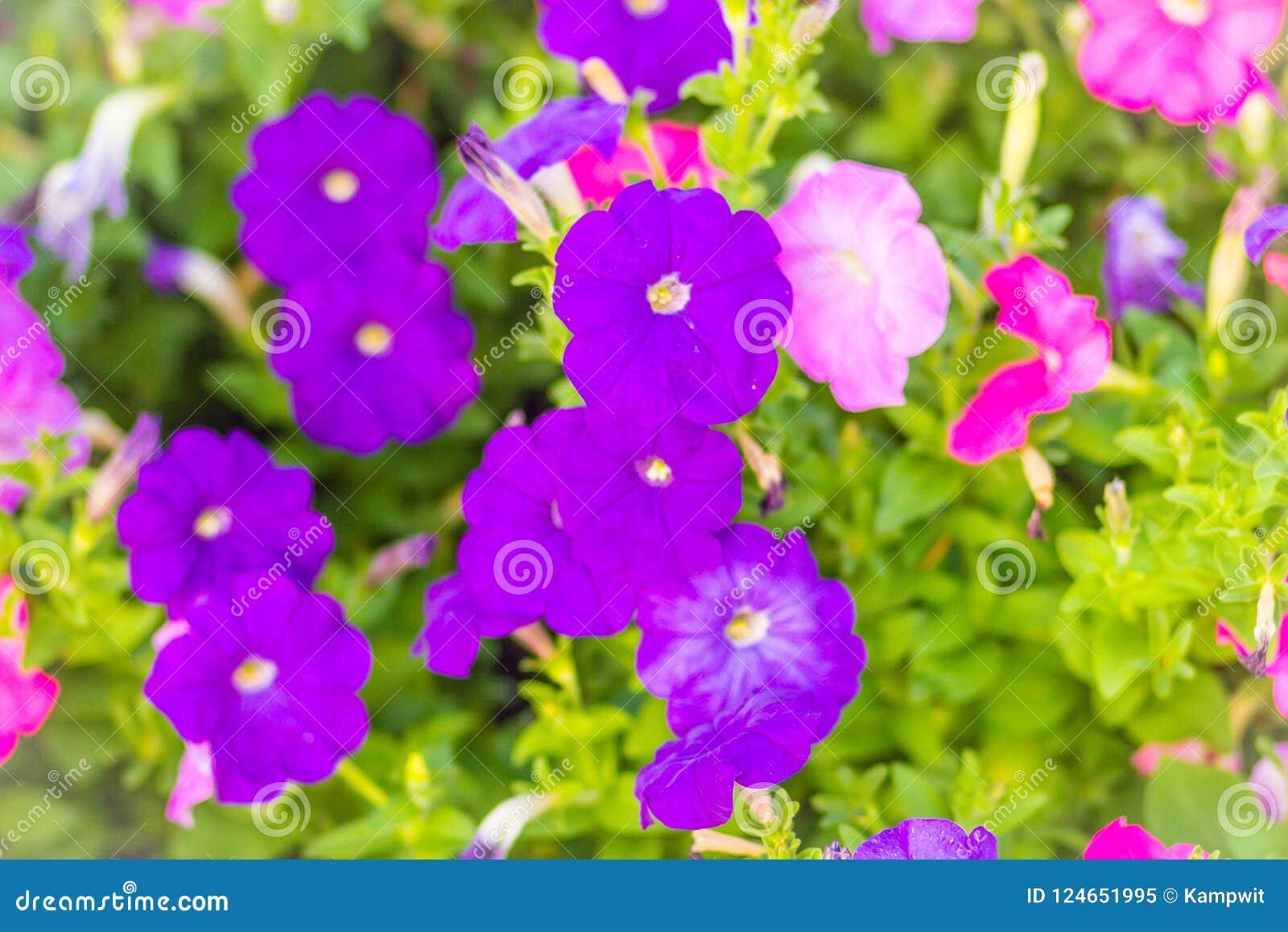 Petunia Stock Winter Flower Picturesque Flowerbed Picturesboss