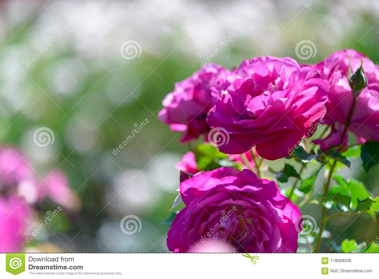 Beautiful pink and purple roses flowers with blurred green download beautiful pink and purple roses flowers with blurred green background stock photo image of izmirmasajfo