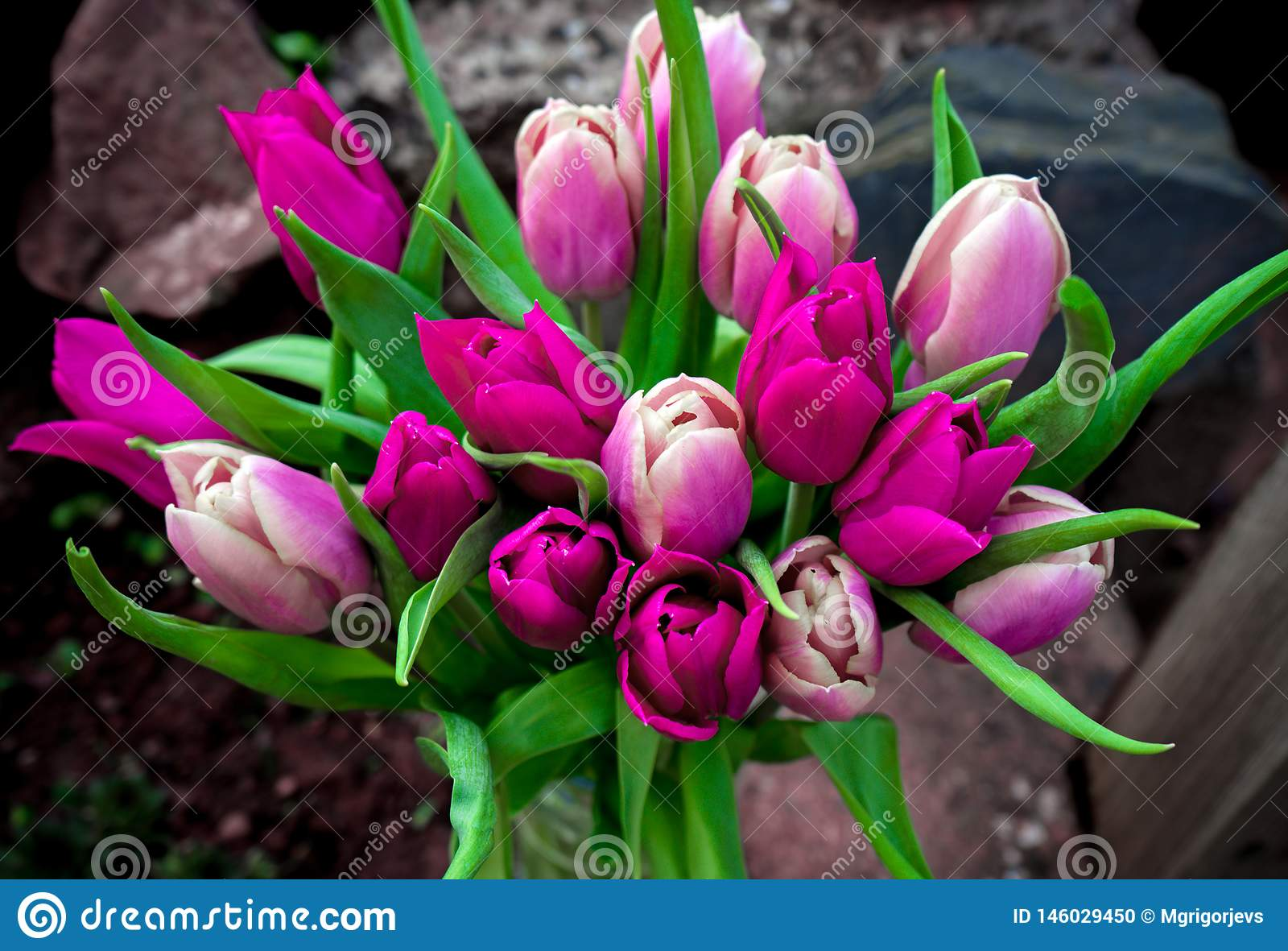 Beautiful pink and purple tulips bouquet flowers