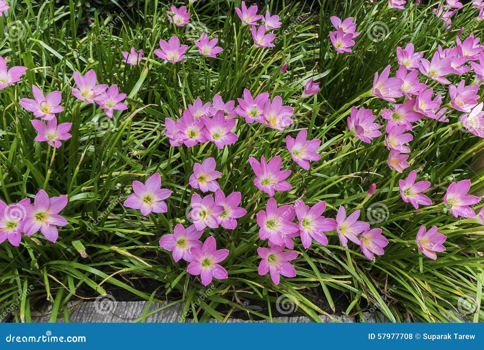 Beautiful Pink Rain Lily Flower Stock Photo Image Of Elegance