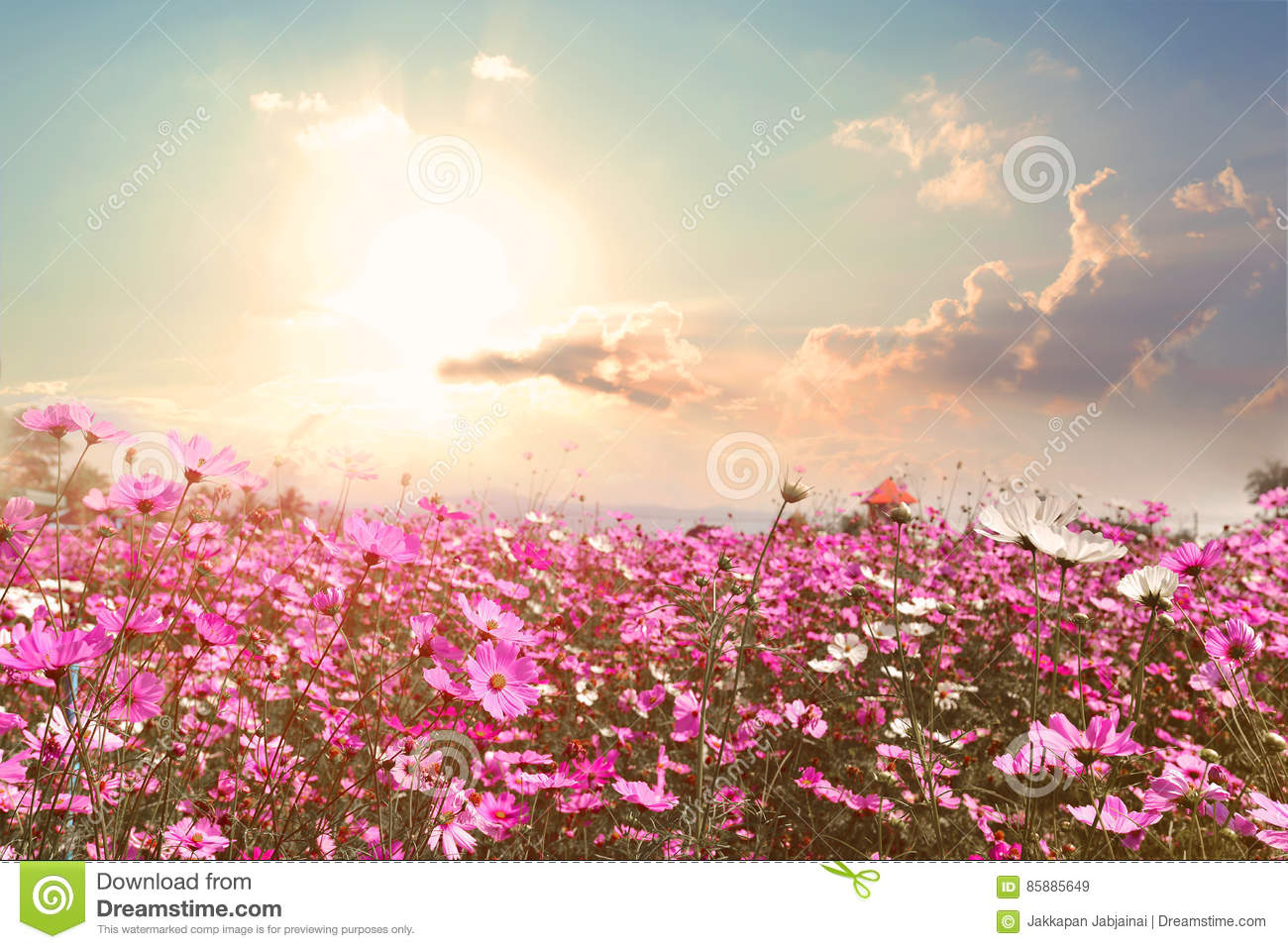 Beautiful pink and red cosmos flower field with sunshine stock image beautiful pink and red cosmos flower field with sunshine mightylinksfo
