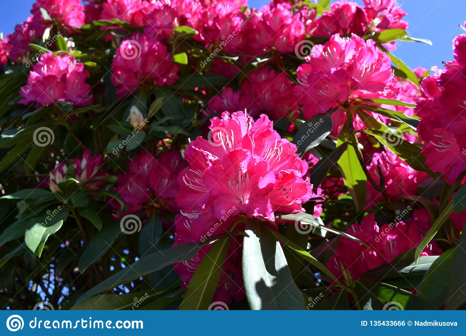 Beautiful Pink Rhododendron Flowers Blooming In Early Spring At