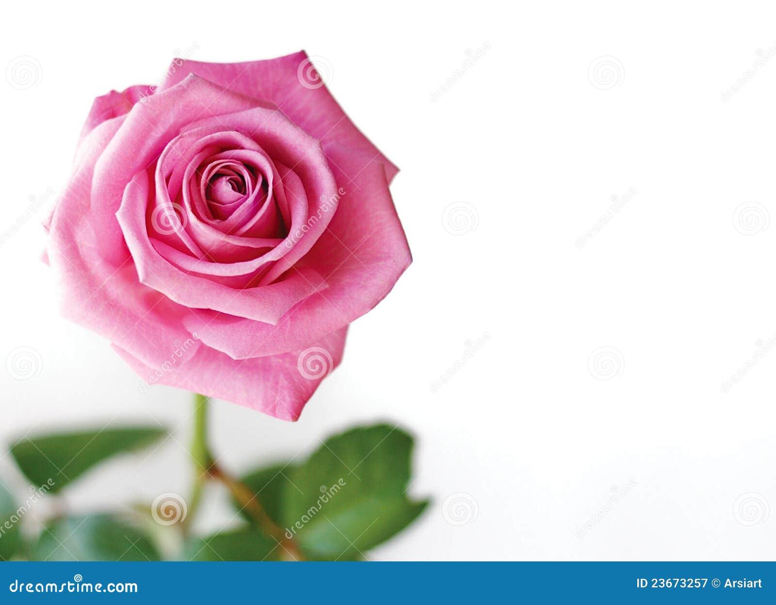 Beautiful Pink Rose. Stock Image. Image Of Closeup, Beauty
