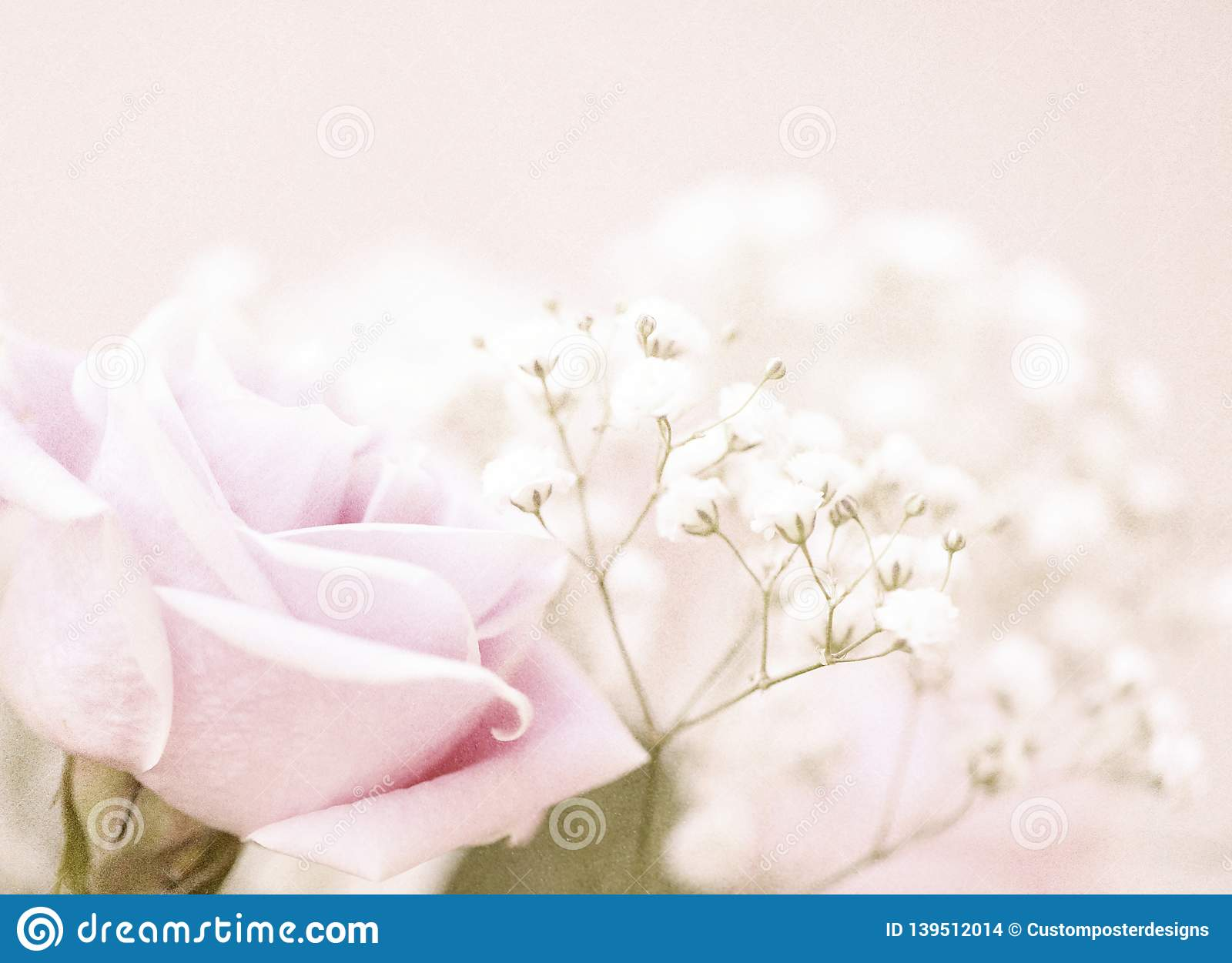 A beautiful pink rose with baby`s breath in the background.