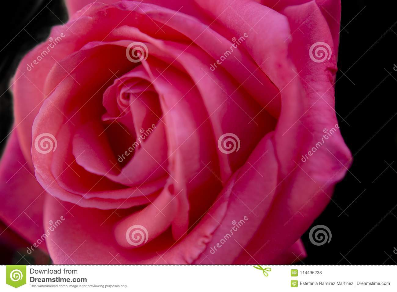 Macro pink rose flower and black background stock photo image of macro pink rose flower and black background izmirmasajfo