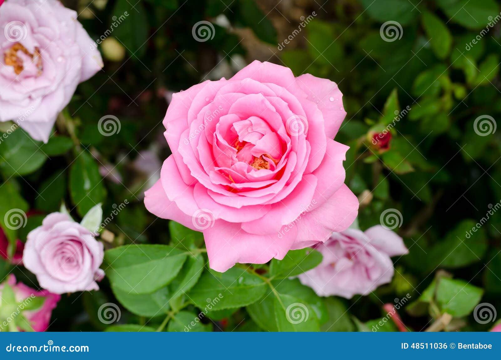 Beautiful Pink Rose Flower Stock Photo Image 48511036