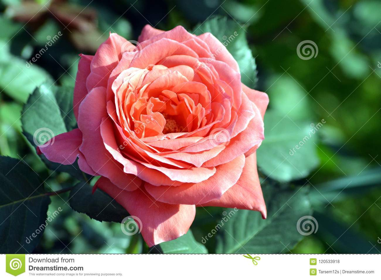 A beautiful pink rose flower with plant in graden editorial stock a beautiful pink rose flower with plant in graden izmirmasajfo