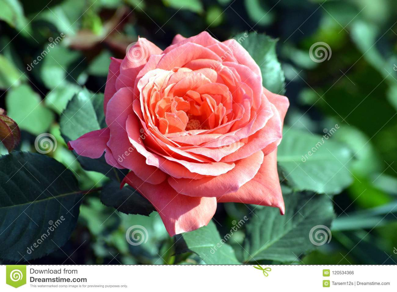 A beautiful pink rose flower with plant in graden editorial photo a rose is a woody perennial flowering plant of the genus rosa in the family rosaceae or the flower it bears izmirmasajfo