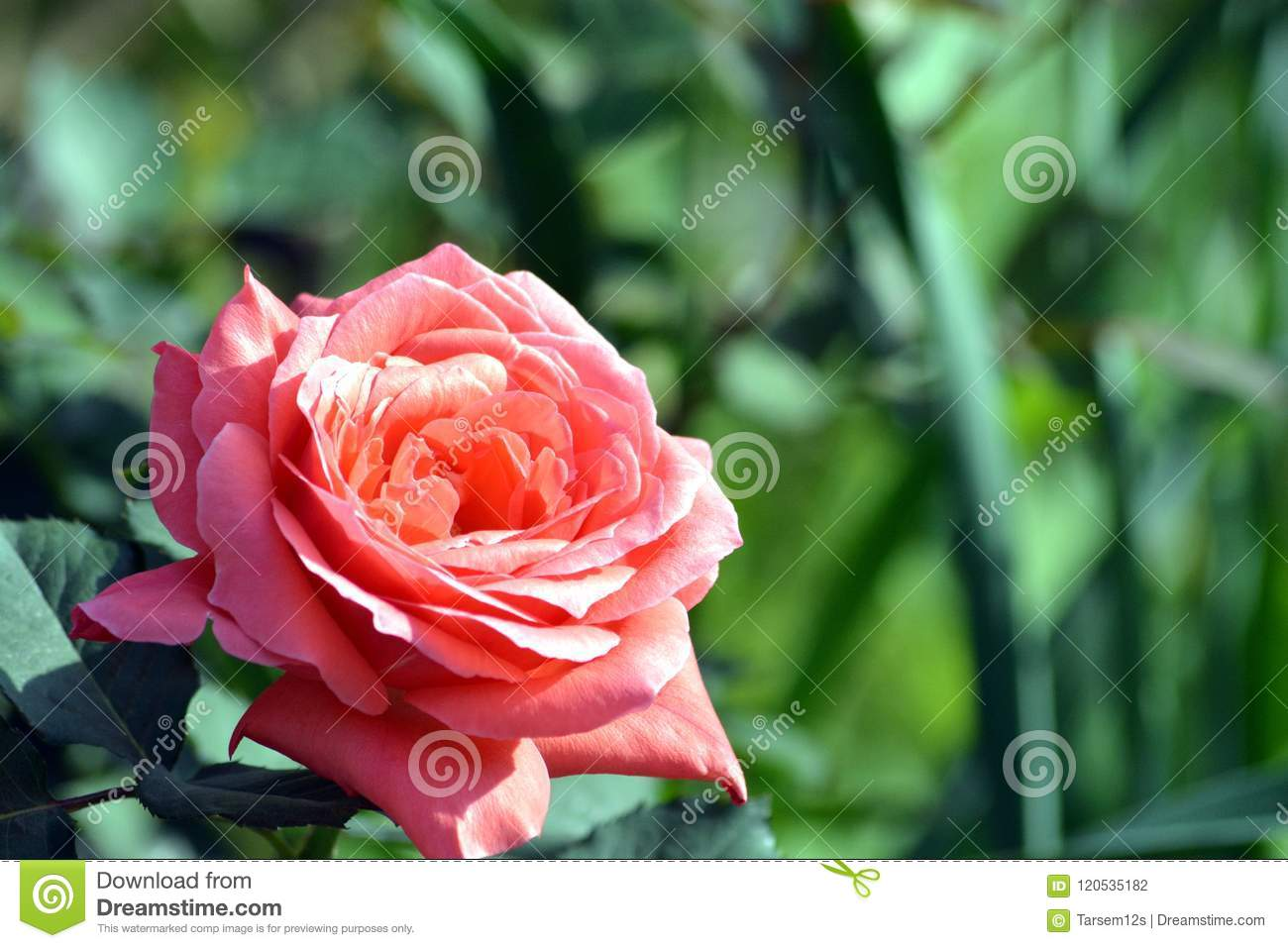 A beautiful pink rose flower with plant in graden stock photo a rose is a woody perennial flowering plant of the genus rosa in the family rosaceae or the flower it bears izmirmasajfo