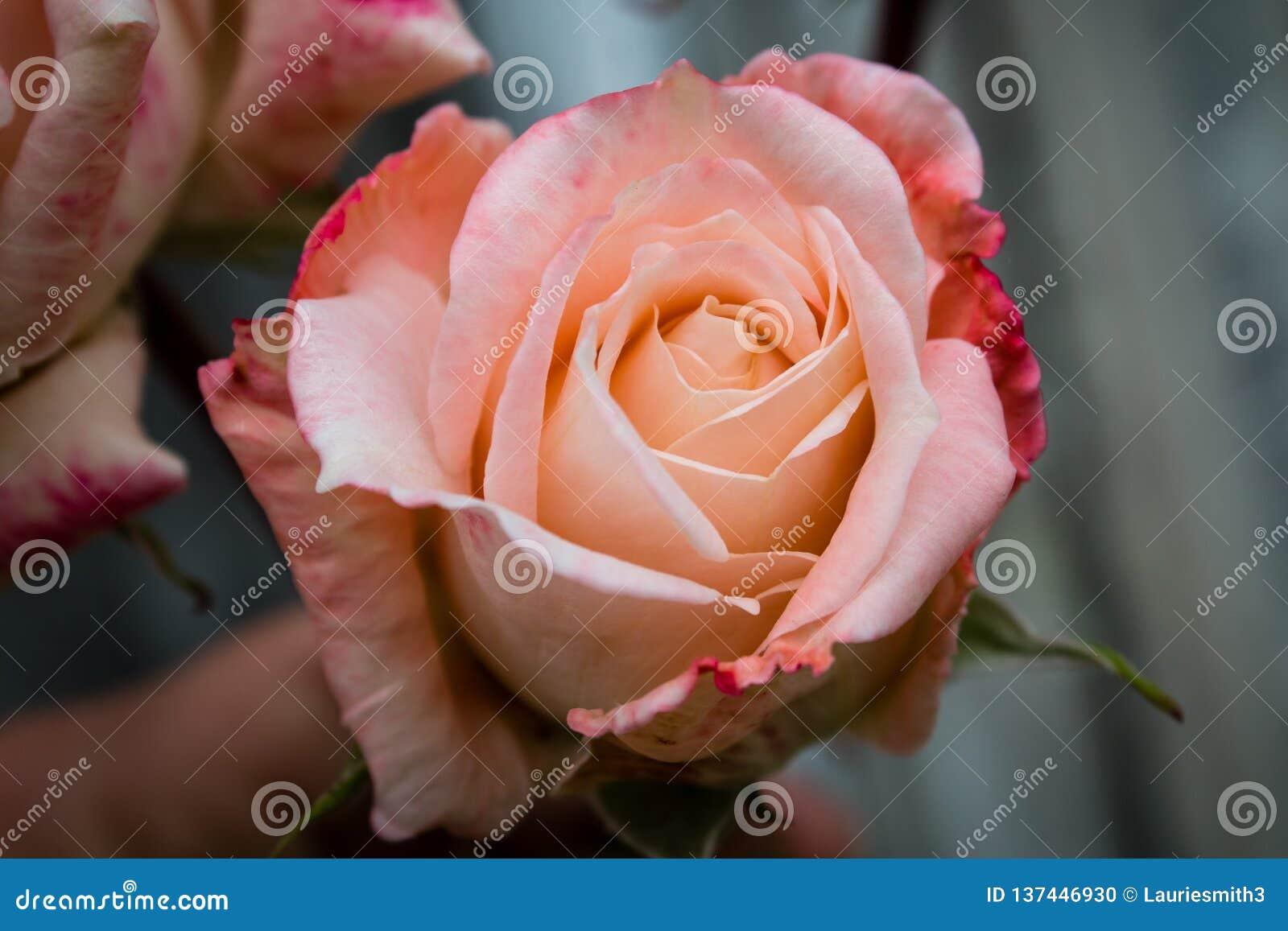 Beautiful Pink Rose In Full Bloom Stock Photo
