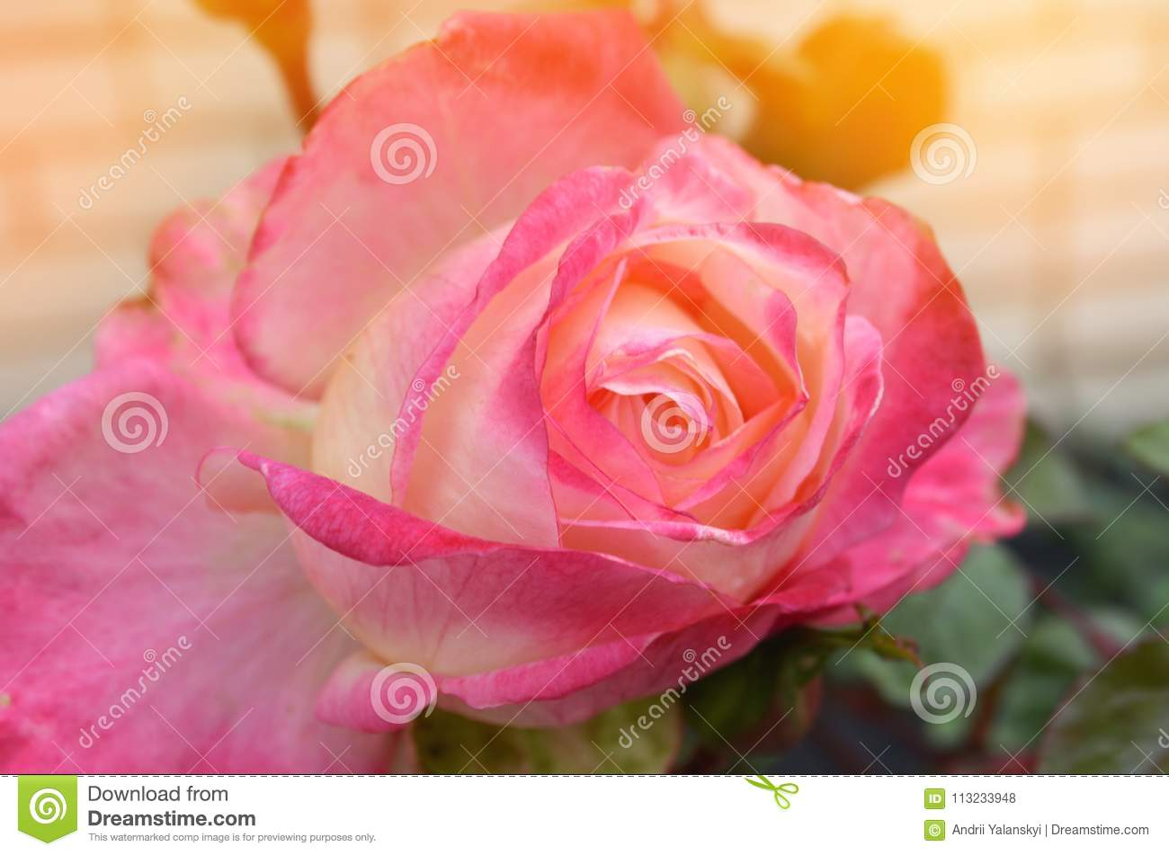 Beautiful Pink Rose In The Garden Nature Wallpaper Flower Stock