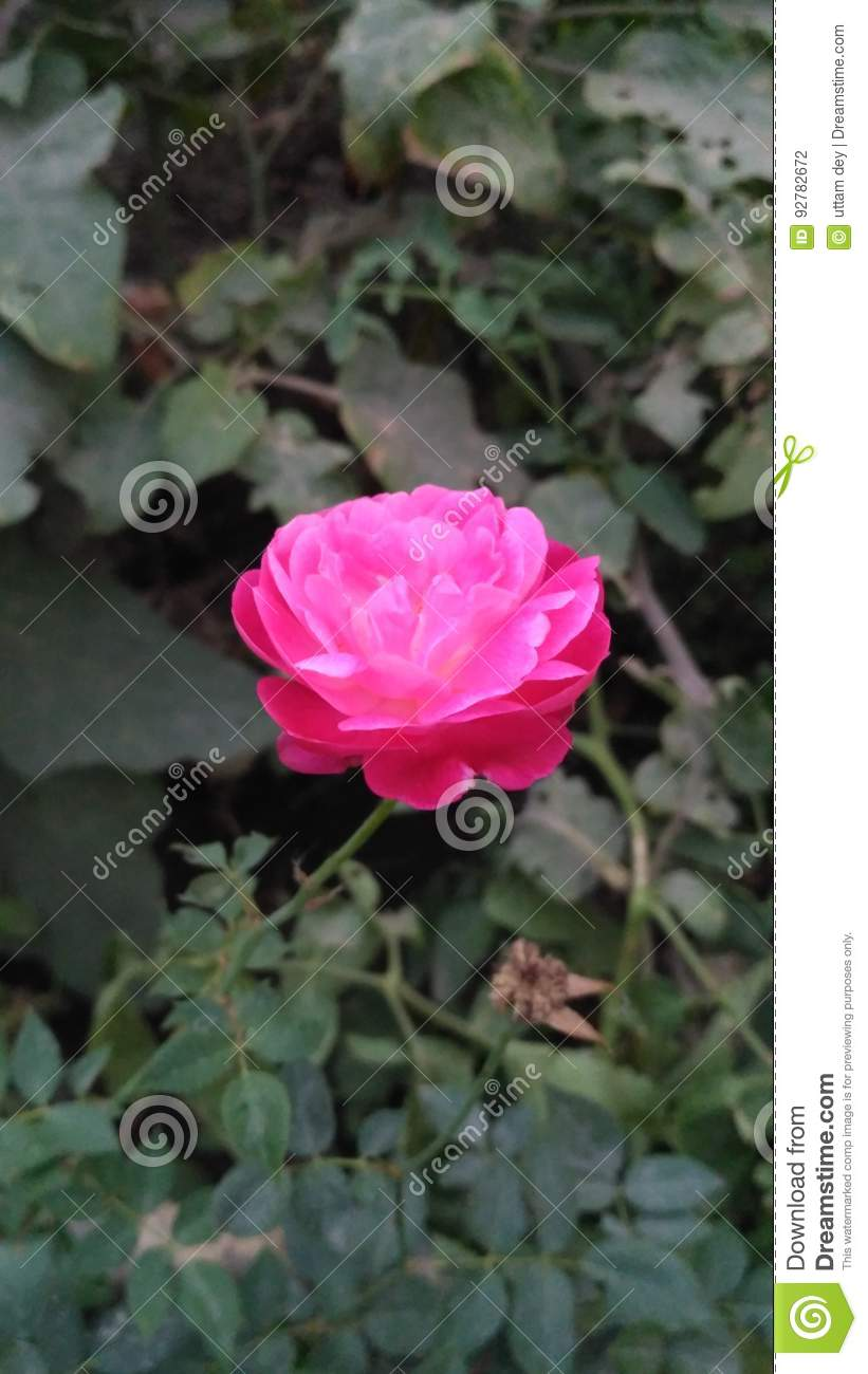 Beautiful Pink Rose Natural Photo Stock Photo Image Of Flowers