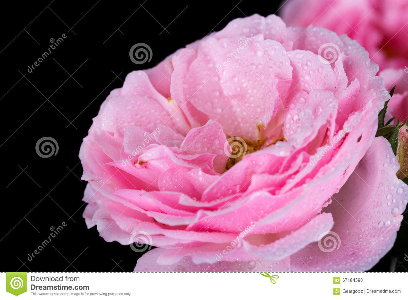 Beautiful pink rose with water drop on black stock photo image of beautiful pink rose with water drop on black background izmirmasajfo