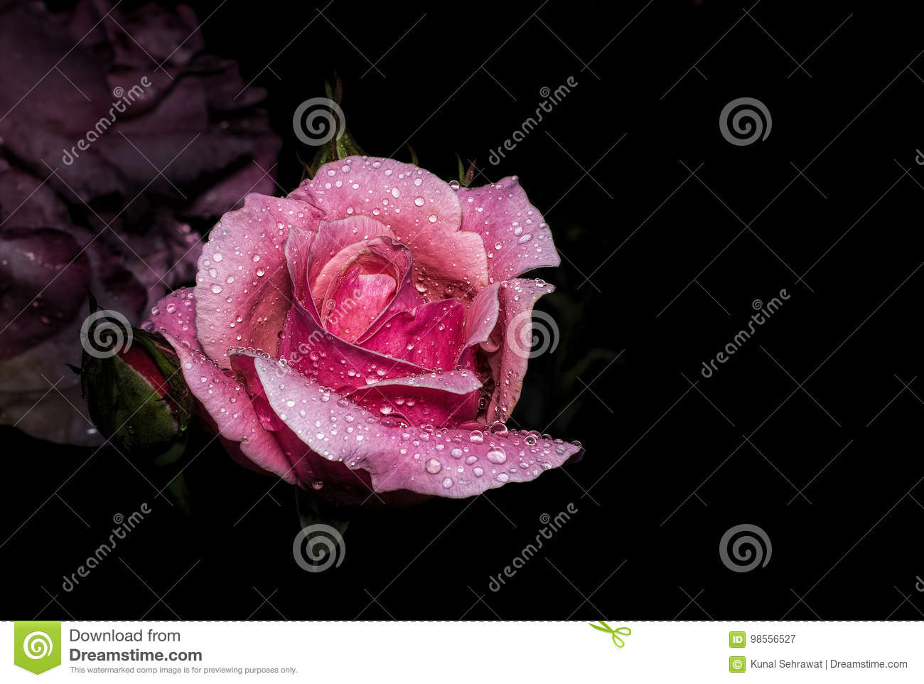 Beautiful pink rose with water drop isolated on black background beautiful pink rose with water drop isolated on black background izmirmasajfo
