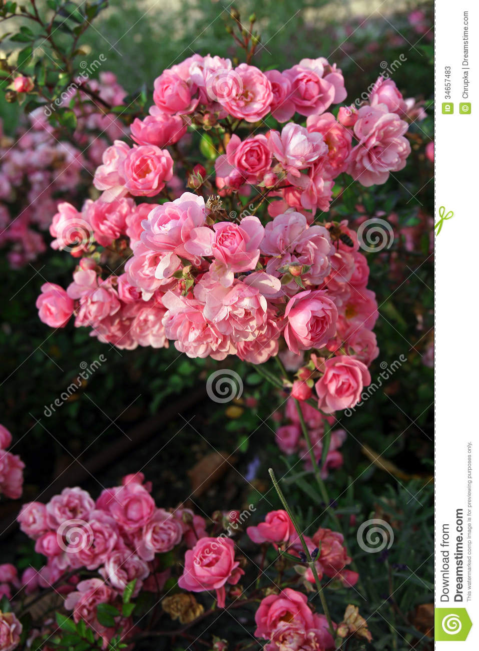 Roses In Garden: Beautiful Pink Roses In Garden Stock Image