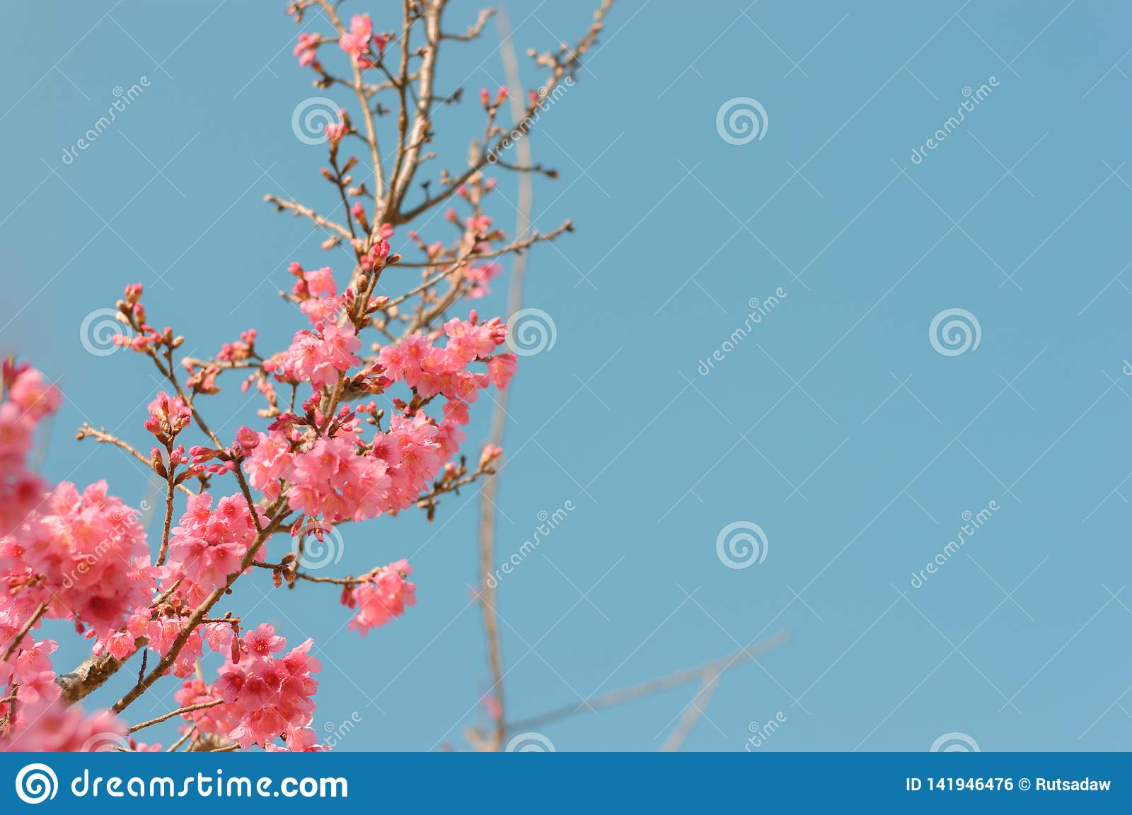 Beautiful pink cherry blossoms in garden
