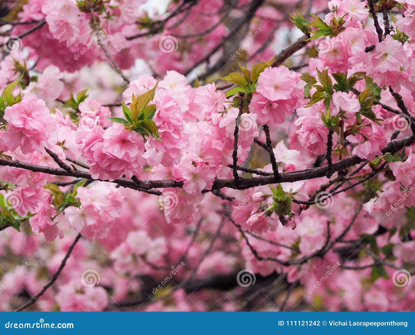 Beautiful Pink Sakura Flowers In Japan Stock Photo Image Of Bright