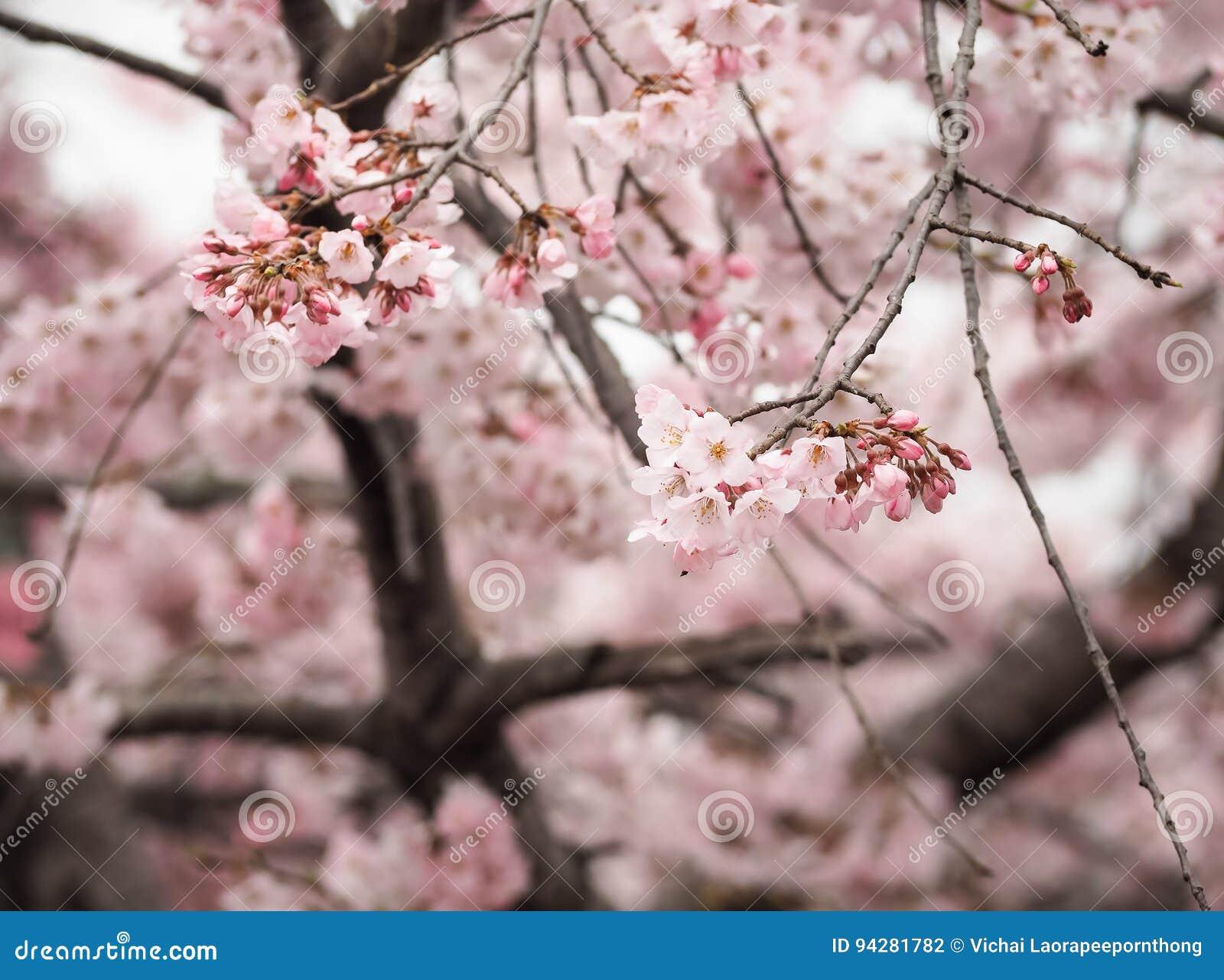 Beautiful Pink Sakura Flowers In Japan Stock Photo Image Of Hanami
