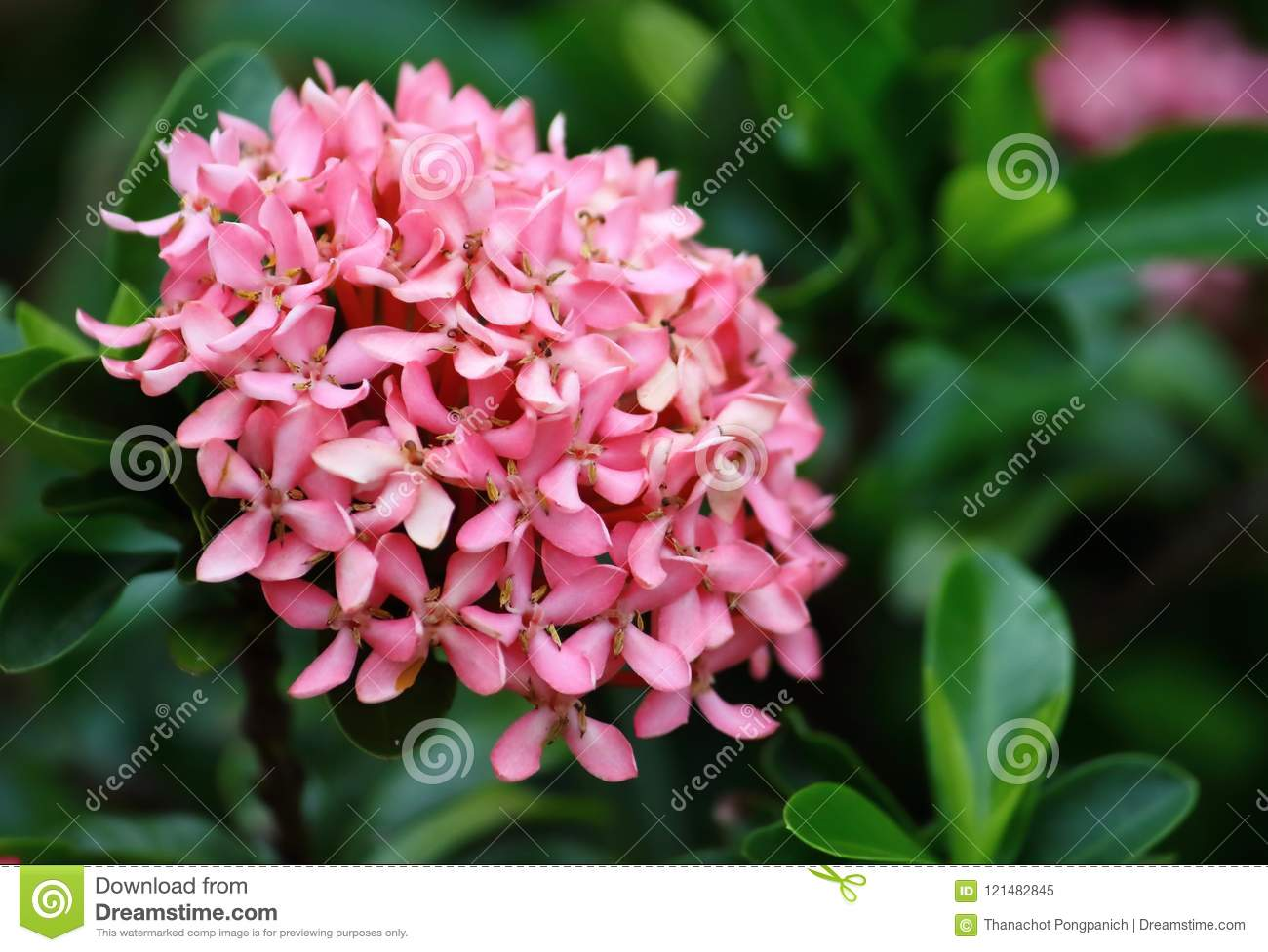 Beautiful Pink Spike Flower Fresh In Natural Stock Image Image Of