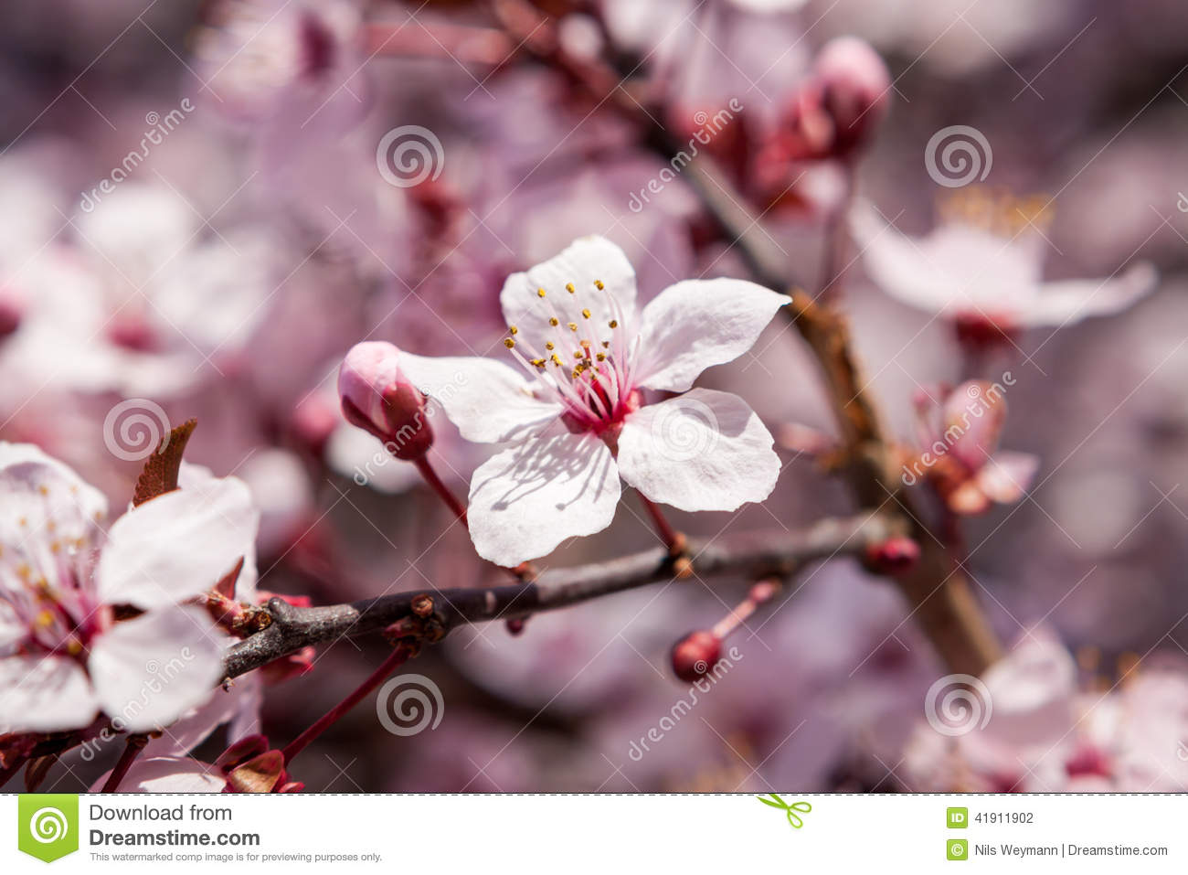 Beautiful Pink Spring Cherry Blossom Stock Photo Image Of Plant