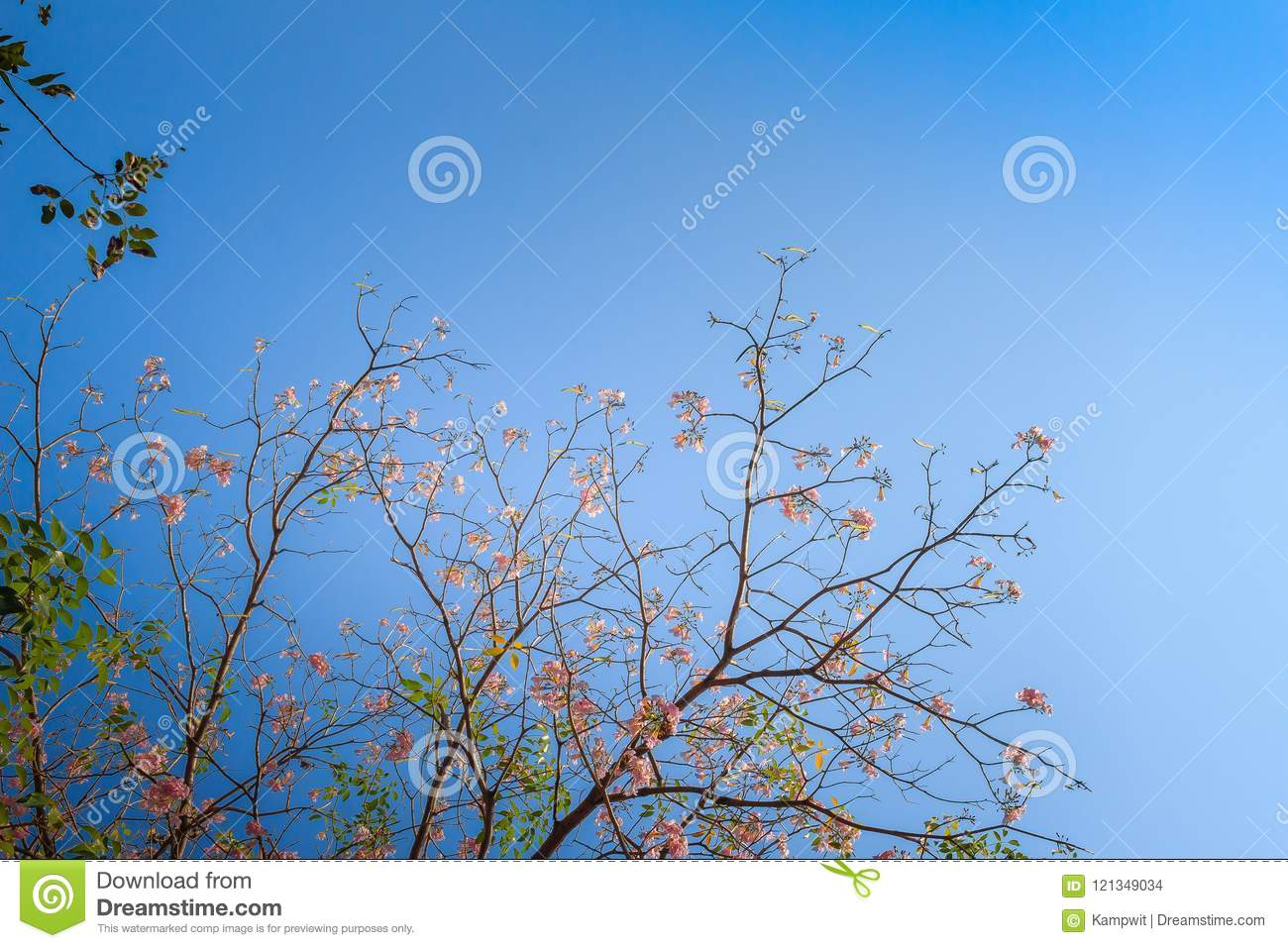 Beautiful pink trumpet tabebuia rosea flowers on tree with beautiful pink trumpet tabebuia rosea flowers on tree with branches and leaves with blue izmirmasajfo