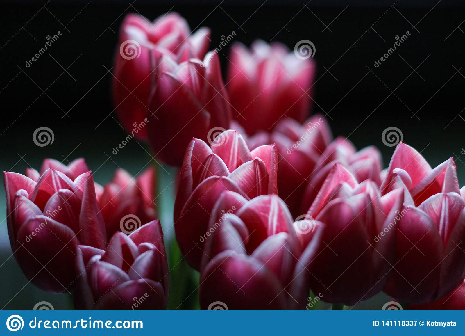 Beautiful pink tulips on a black background