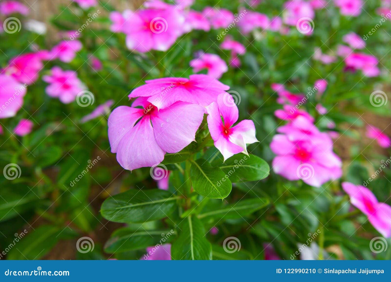 Beautiful Pink Vinca Flowers. Cape Periwinkle, Madagascar ...
