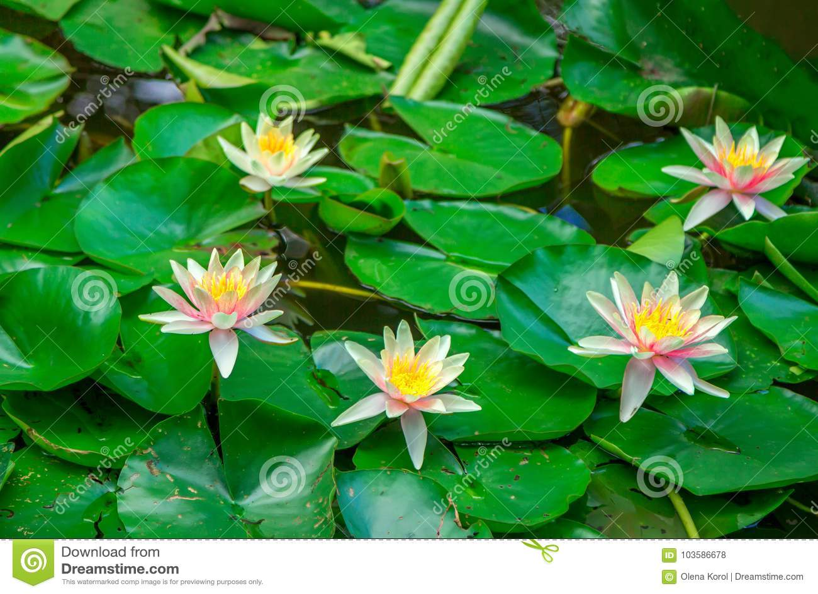Beautiful pink water lily flowers stock photo image of plant lily beautiful pink water lily flowers izmirmasajfo