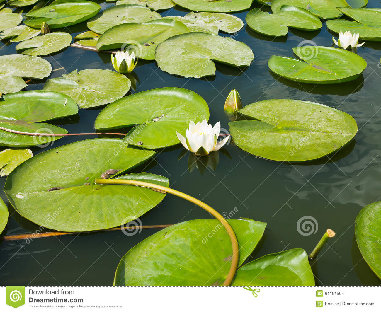 Beautiful Pink Water Lily Lotus Flower In Pond Green Leaves Stock