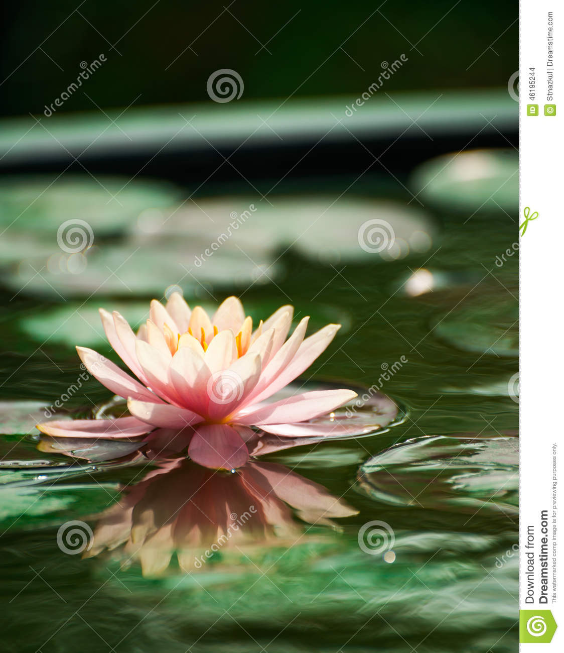 Beautiful Pink Waterlily Or Lotus Flower In Pond Stock Photo Image